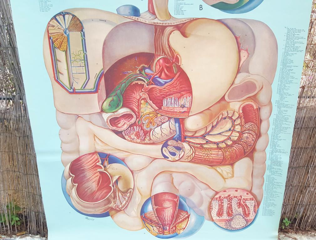 Lujo Anatomía Interna Mudpuppy Ilustración - Anatomía de Las ...